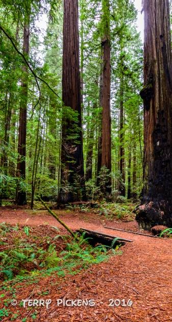 Quiet trail under the redwoods