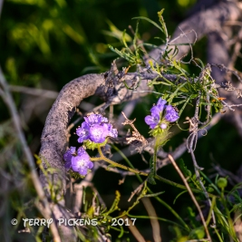 Anza Borrego flowers 3-12-2017-1