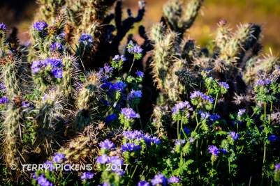 Anza Borrego flowers 3-12-2017-2