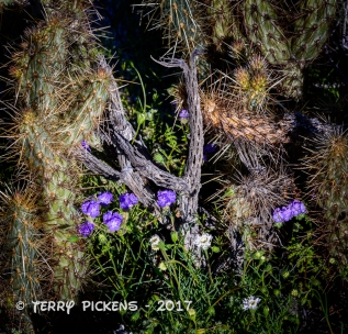 Anza Borrego flowers 3-12-2017-6