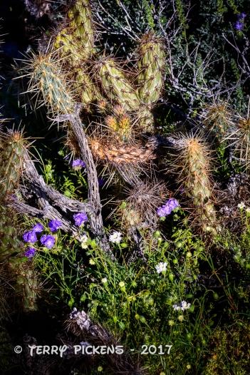 Anza Borrego flowers 3-12-2017-7