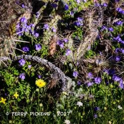 Anza Borrego flowers 3-12-2017-8