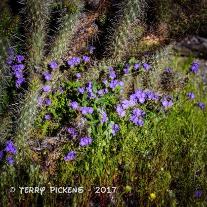 Anza Borrego flowers 3-12-2017-9