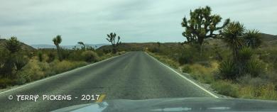Joshua trees along Pinto Basin Road