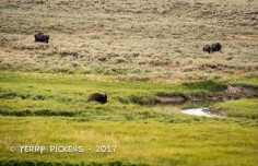 Buffalo herd in the meadow