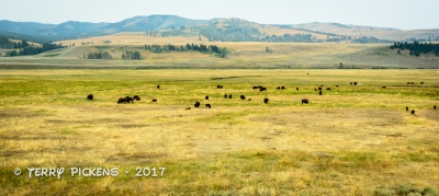 Bison in Lamar Valley, Yellowstone NP