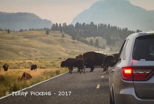 Bison traffic jamb