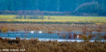 From the blind of the Ridgefield National Wildlife Reserve