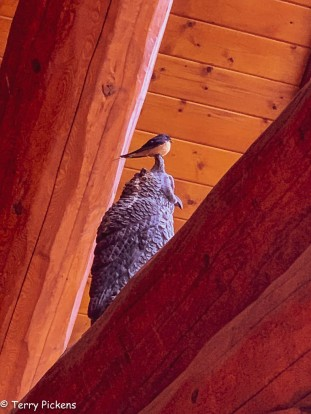 Not afraid of you, Northern Rockies Lodge